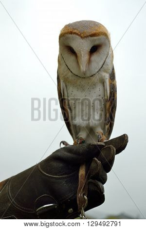 young barn owl sitting on the arm - close-up