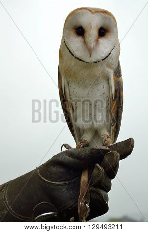 young barn owl sitting on arm - close-up