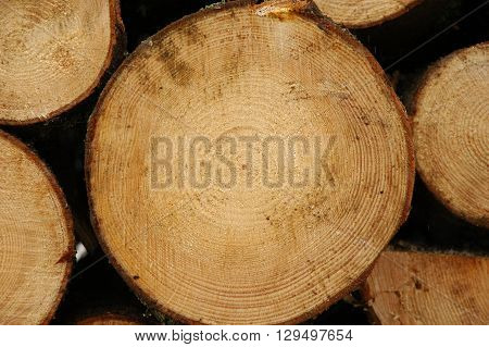 Close up of a Large cut log with Age rings
