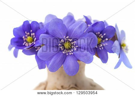 Hepatica nobilis on a white background plantae,
