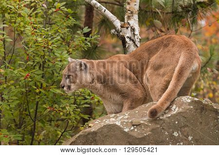 Adult Male Cougar (Puma concolor) Looks Left Behind Rock - captive animal