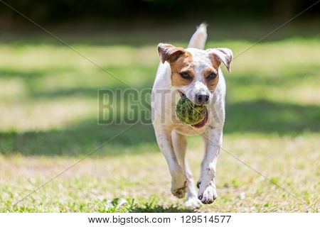Portrait Of Jack Russell Terrier Dog Running Towards The Camera With A Tennis Ball With A Tennis Ball In Her Mouth