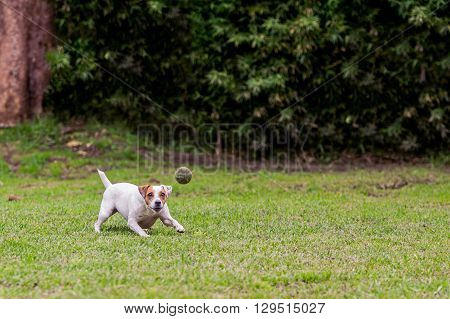 Running Jack Russell Terrier Female Dog For Thrown Ball Aport