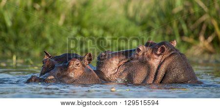 Hippopotamus In The Water. The Common Hippopotamus (hippopotamus Amphibius)