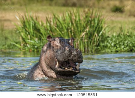 Yawning  Hippopotamus In The Water. The Common Hippopotamus (hippopotamus Amphibius)
