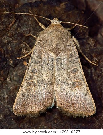 Vine's rustic moth (Hoplodrina ambigua). British insect in the family Noctuidae the largest British family moths in the order Lepidoptera