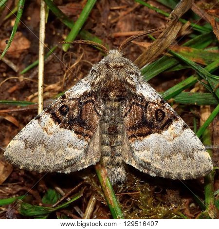 Nut-tree tussock moth (Colocasia coryli). British insect in the family Noctuidae the largest British family moths in the order Lepidoptera