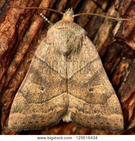 The dun-bar moth (Cosmia trapezina). British insect in the family Noctuidae the largest British family moths in the order Lepidoptera