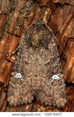 Common rustic (Mesapamea secalis) moth from above. British insect in the family Noctuidae the largest British family moths in the order Lepidoptera