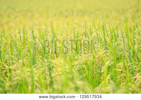 Young Green Rice Field In Thailand