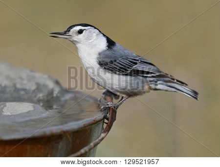 Male White-breasted Nuthatch Drinking From A Pail
