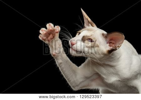 Closeup Portrait of Funny White Oriental Cat Raising paw Black Isolated Background