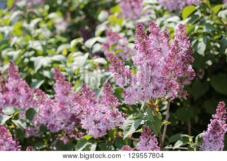 The flowers. The blooming purple lilac clusters