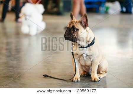 Lost Sad Dog French Bulldog Sitting On Floor.