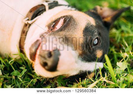 Funny Bullterrier Dog Portrait In Green Grass