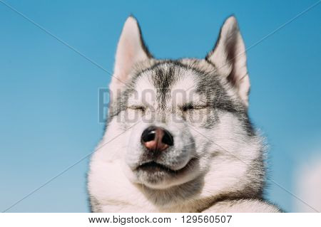 Close Up Of Young Funny White And Gray Husky Puppy Dog With Eyes Closed On Blue Sky Background