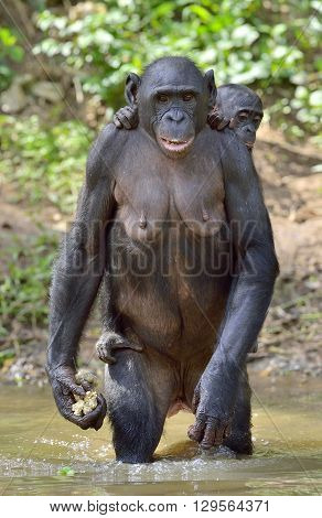 The Bonobo ( Pan Paniscus) Standing On Her Legs In Water With A Cub On A Back