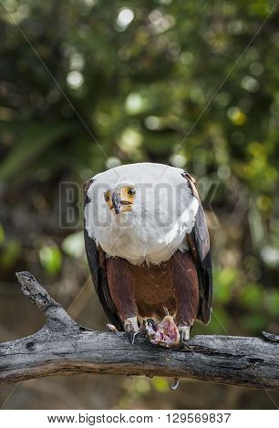 The African Fish Eagle (haliaeetus Vocifer) Or Distinguish It From The True Fish Eagles The African
