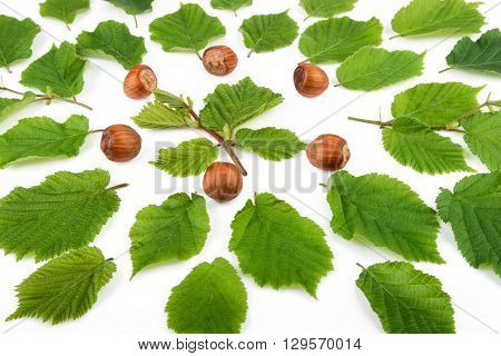 Hazelnuts with green leaves on white. Green leaves and nuts background.