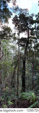 Blue Mountains : Eucalyptus Tall Forest vertical panoramic