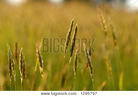 Grass Heads At Sunset