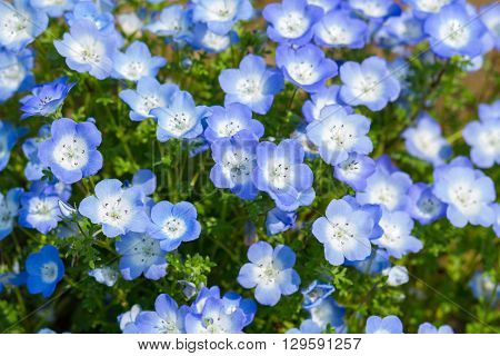 Field of Nemophila, or baby blue eyes Nemophila menziesii California bluebell in soft light and shadow.