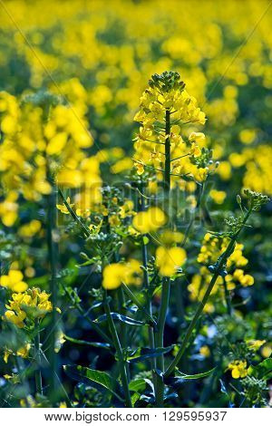 Rapeseed flower in yellow field of rapeseed