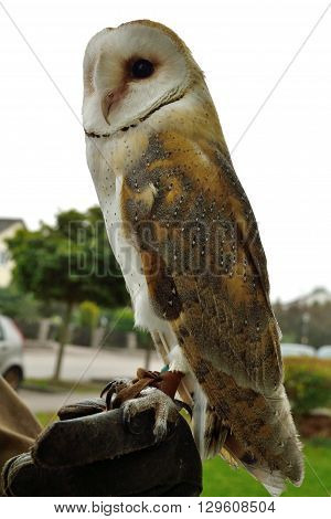 Barn Owl from the side sitting on glove