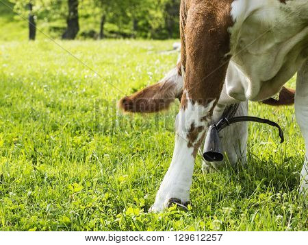 Hungry old cow is eating some grass with a metal bell around her neck.