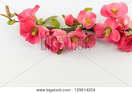 Fresh rosa rugosa flowers on white background