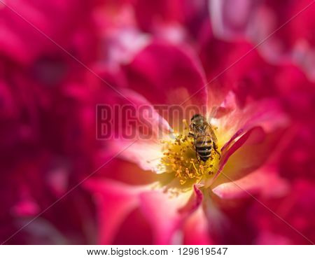 Honey Bee in a rose flower feeding and pollinating.