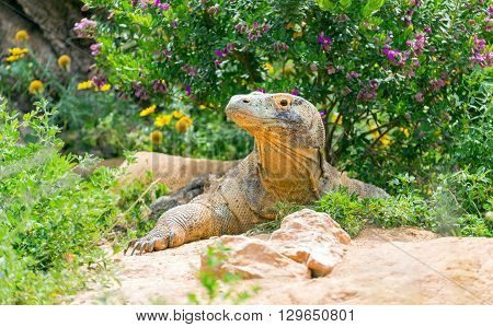 Komodo dragon (Varanus komodoensis) the largest living species of lizard poster