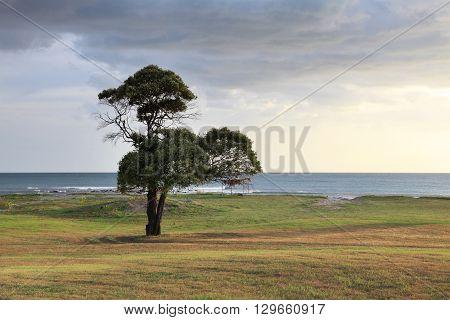 lone tree on the ocean coast. Nicaragua. Coast of the Pacific ocean