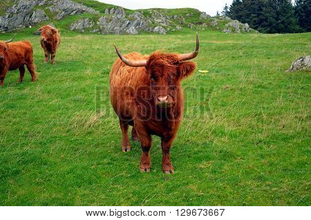 brown Longhorn Cow on a pasture in Norway