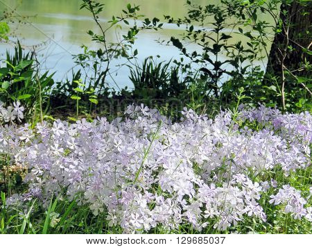 Phlox divaricata flowers in forest on the banks of the Potomac River near Washington DC 20 April 2016 USA