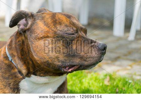Detail of dogs head ( Staffordshire bull terrier) with closed eyes. Staffordshire bull terrier enjyoing sun shine.