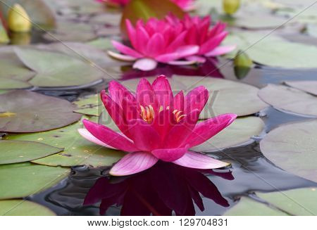 Photograph of beautiful pink water lily flowers