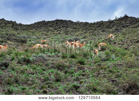 Vicunas On The Mountain