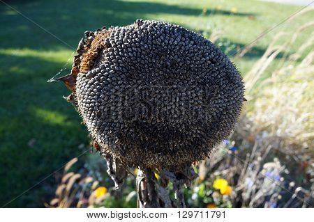 The head of a common sunflower (Helianthus annuus), packed with seeds, during November in the Wildflower Park in Naperville, Illinois.