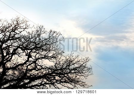 Bare Twisted Oak Tree Branches Silhouetted Againt Blue Sky Background