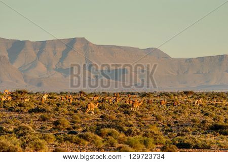 Large herd of camels at sunset on the outskirts of the Sahara desert in south Morocco.