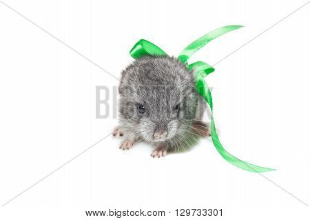 Cute baby chinchilla isolated over white background. Copy space.