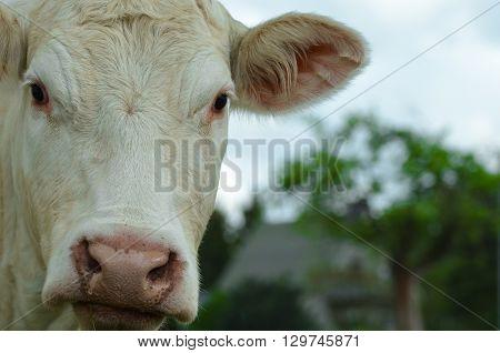 Cows in a field cow closeup farming nature animal farm