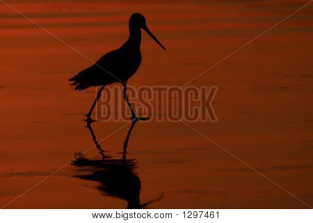 Marbled Godwit In Sunset On Beach