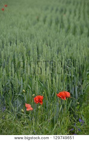 Red poppies in a field of wheat