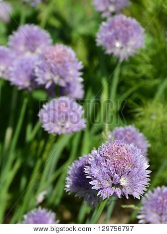The lilac flowers of a blossoming chive plant