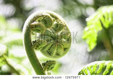 a lovely close up of a new zealand spiral fern in spring poster