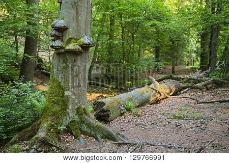 Fungus and moss growing on a tree trunk in a peaceful forest in the Ardennes Belgium poster