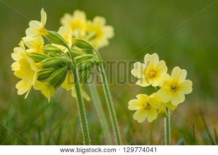 macro of primrose cowslip primula flower at garden grass in spring