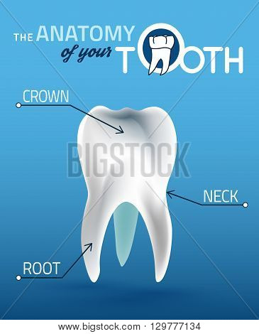 Human tooth dental infographic. Editable vector illustration with healthy white tooth. Medical image in wight, blue and dark blue colors useful for poster, leaflet or brochure graphic design.